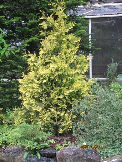 Thuja occ. Yellow Ribbon KULTATUIJA