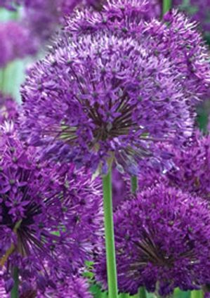 Allium aflatunense 'Purple Sensation' UKKOLAUKKA