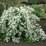 Exochorda mac. 'The Bride'  HELMIPENSAS