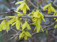Forsythia ovata KOREANONNENPENSAS