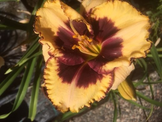 Hemerocallis 'Tiger Blood'  PÄIVÄNLILJA