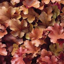 Heuchera 'Boysenberry' KEIJUNKUKKA