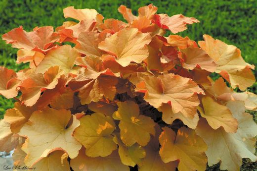 Heuchera 'Coffee Bean' KEIJUNKUKKA