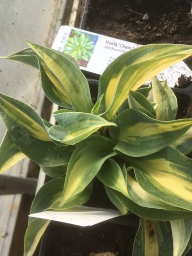 Hosta 'Chain Lightning' KUUNLILJA