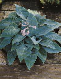 Hosta 'Blue Angel' JALOKUUNLILJA