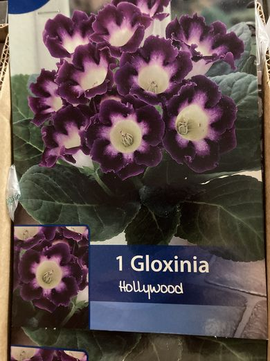 suppilokukka Gloxinia 'Hollywood'