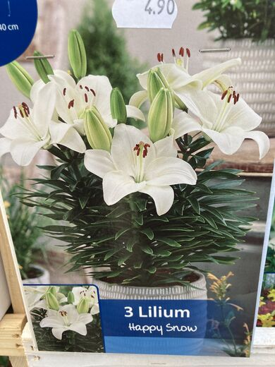 Lilium asiatic 'Happy Snow' RUUKKULILJA