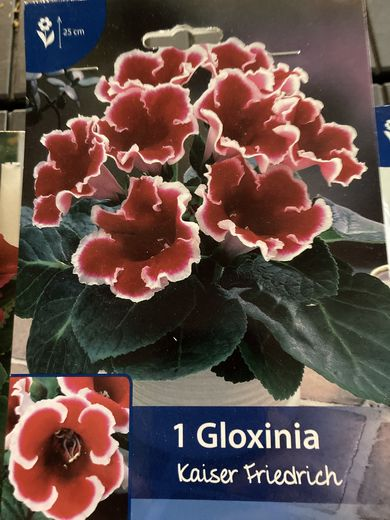 Suppilokukka Gloxinia 'Kaiser Friedrich'