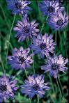 Catananche caerulea 'Major' SINIKATANA