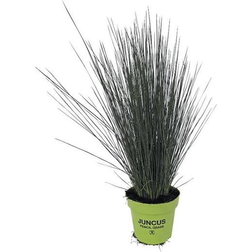 Juncus 'Pencil Grass'	 VIHVILÄ