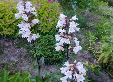 Penstemon digitalis 'Husker Red Strain' HARMAAPIPO