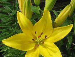 Lilium asiatic 'Happy Sun' RUUKKULILJA