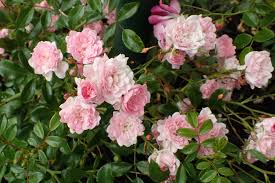 Rosa 'The Fairy' MAANKATERUUSU