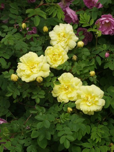 Rosa Harisonii-ryhmä 'William's Double Yellow' VILJAMINKELTARUUSU
