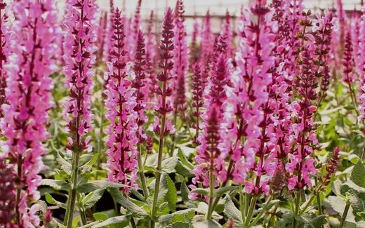 Salvia nemorosa 'Sensation Deep Rose' LOISTOSALVIA