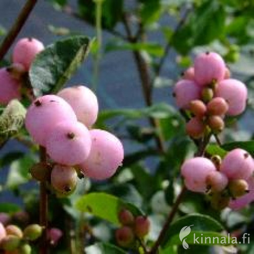 Symphoricarpos x doorenbosii  'Mother of Pearls'  LUMIMARJA