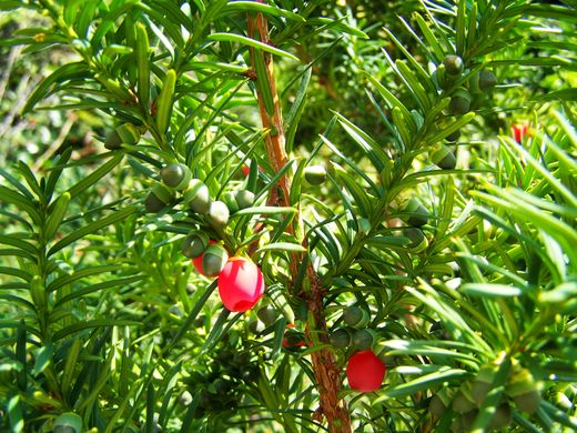Taxus x media 'Hicksii'	KARTIOMARJAKUUSI